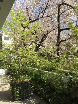 テラスと桜.JPG